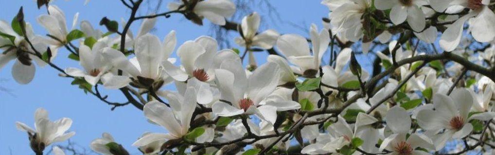 Magnolija Kobus Drvo